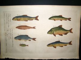 Willughby & Ray 1740 Folio Hand Col Fish Print. Chubb, Dace, Bream, Roach etc